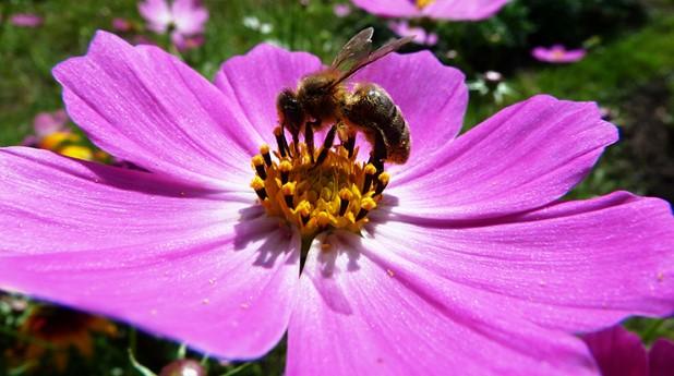 bi, blomma