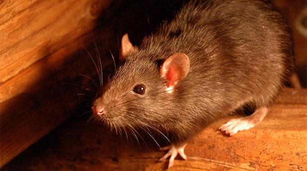 Stockholms stad får dispens för råttgift, brunråtta.